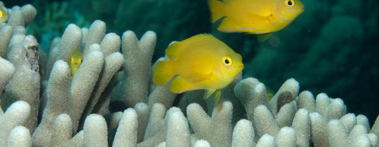 A hajók motorzaja miatt sokkal több hal válhat ragadozók prédájává