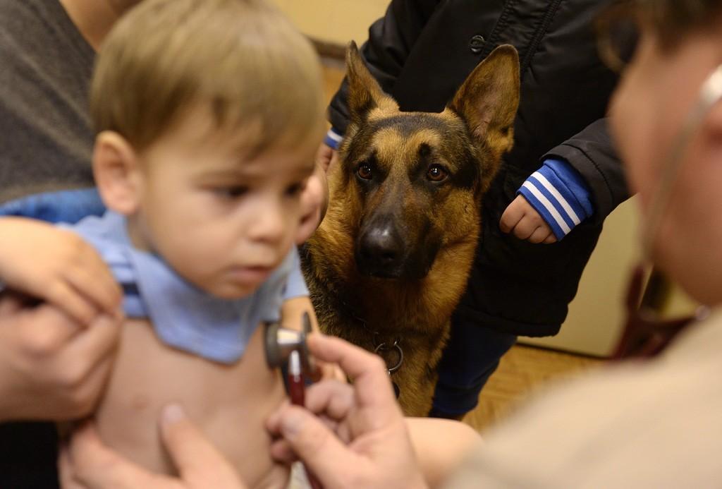 Budapest, 2016. február 10. Rex, Varga Károly gyermekorvos kutyája figyeli a vizsgálatot az óbudai Ányos utcai gyermekorvosi rendelőben 2016. február 10-én. A terápiás minősítéssel rendelkező német juhász minden rendelésre elkíséri gazdáját, ahol neki is szerepe van, megnyugtatja a gyerekeket, leköti a figyelmüket. MTI Fotó: Kovács Tamás