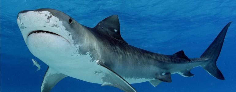 Cápaveszélyt jelző okosbóját tesztelnek egy ausztrál strandon