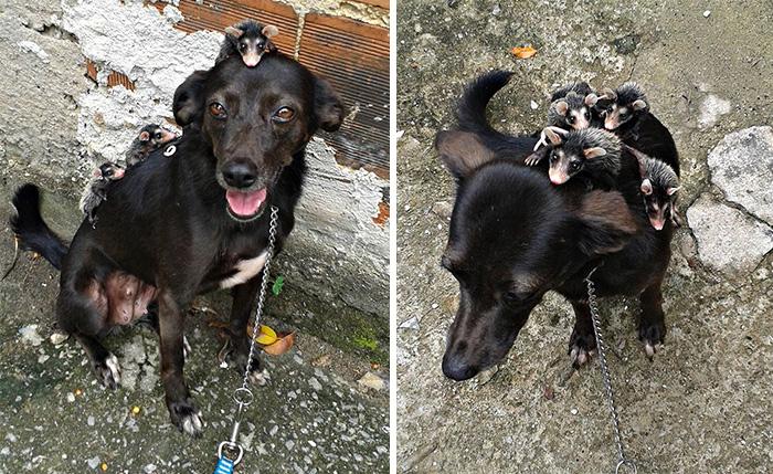 Hátán viszi mindenhova a sajátjaként nevelt árva oposszumokat ez a kutyus