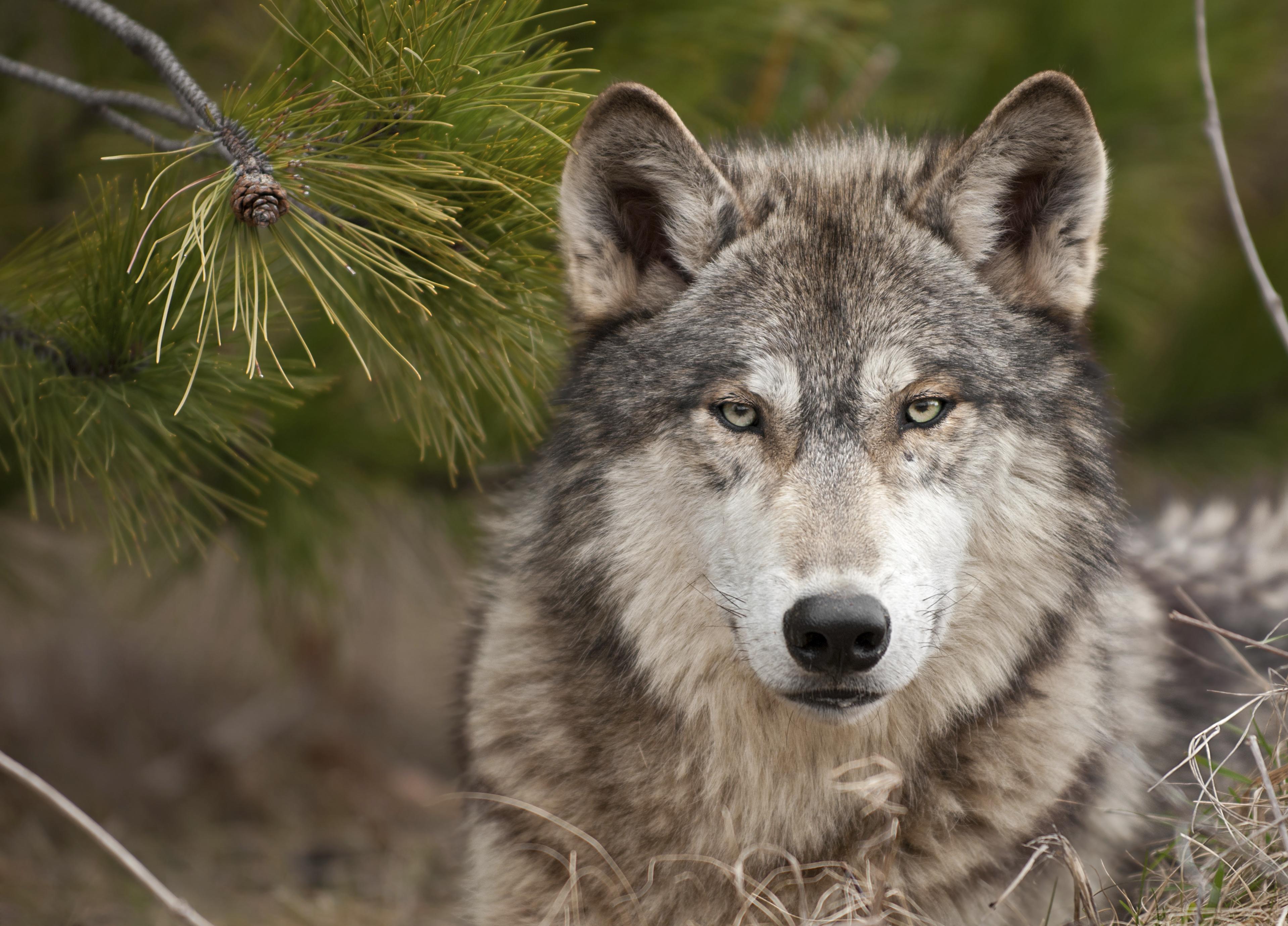 Kilövési engedélyt adhatnak Olaszországban az eurómilliókért megmentett farkasokra