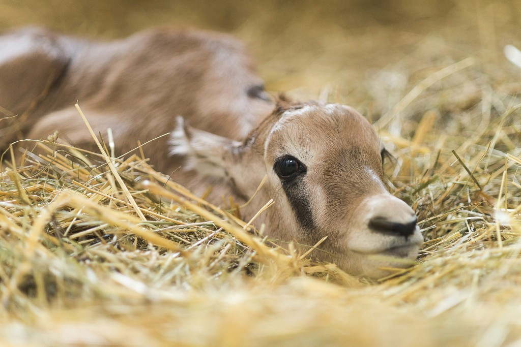 Nyíregyháza, 2016. március 24. Egynapos nyársas antilop (Oryx gazella) bikaborjú a Nyíregyházi Állatparkban 2016. március 24-én. A Dél-Afrikában õshonos faj fennmaradását veszély fenyegeti, pompás szarvuk és szõrzetük a trófeavadászok kedvelt zsákmányává tette õket. MTI Fotó: Balázs Attila