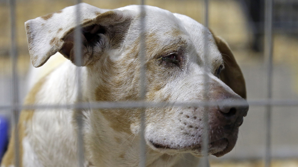 "A rescued dog peers from within a kennel where hundreds of rescued animals are being kept for treatment about an hour southwest of Raleigh, N.C., Friday, Jan. 29, 2016. The American Society for the Prevention of Cruelty to Animals rescued over 600 animals after they were found in conditions that the sheriff called ""awful and very sad."" (AP Photo/Gerry Broome)"