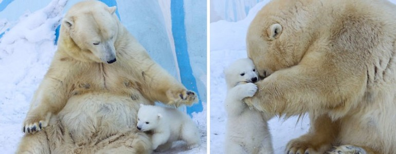 Jegesmedve született egy oroszországi állatkertben