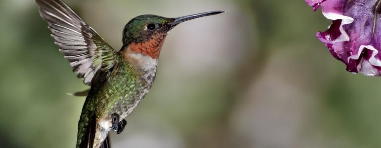 Kétezer kilométernél is többet repülhet megállás nélkül a tüzestorkú kolibri