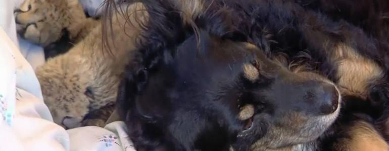 Elárvult gepárdkölyköket fogadott be sajátjaként egy juhászkutya