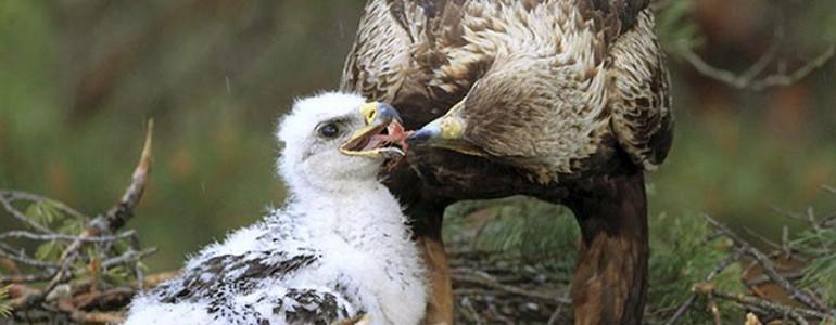 Önkénteseket keresnek a madárvédők a parlagi sasok fészkeinek őrzésére