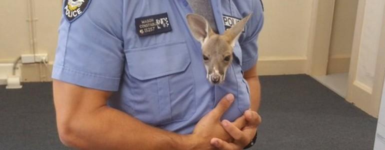 A mai nap hőse az ausztrál rendőr, aki megmentette az árva kengurubébit