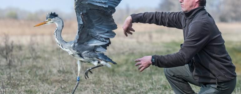 Védett madarakat engedtek szabadon a Kiskunságban