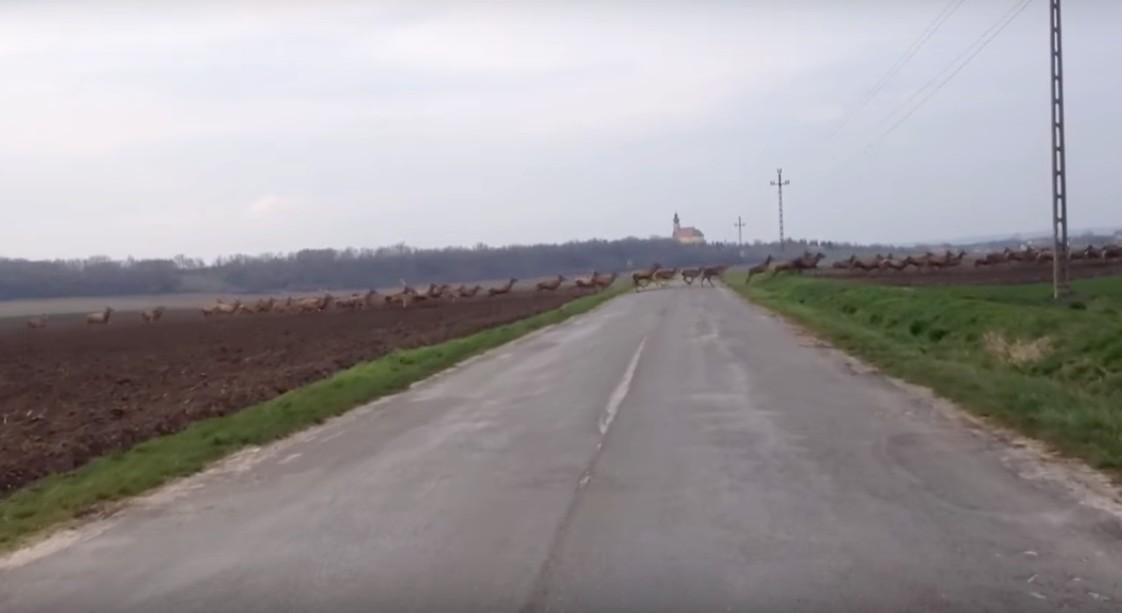 Lenyűgöző szarvasvonulást videóztak le Baranyában