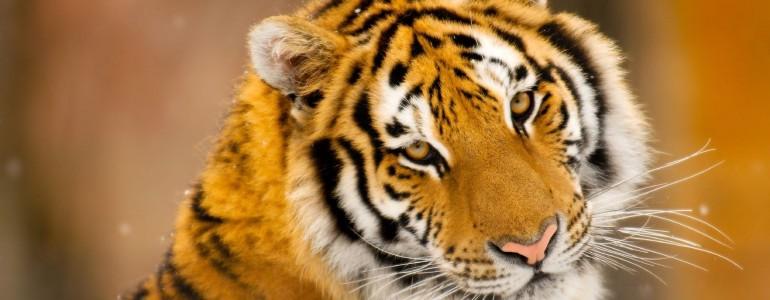 Terjeszkednek a szibériai tigrisek Északkelet-Kínában
