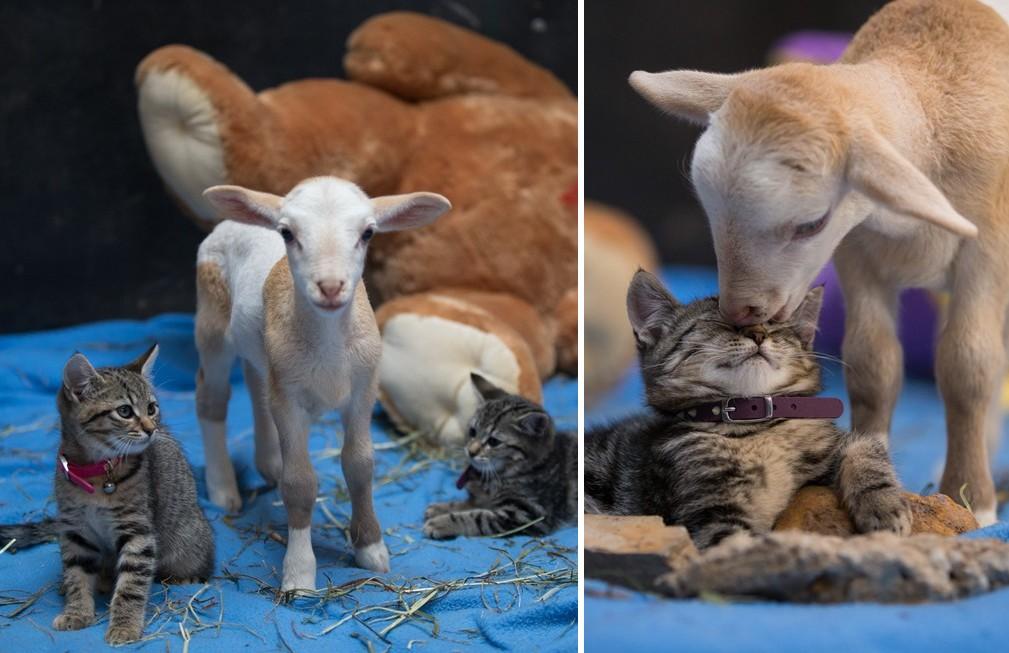 Két kiscica és egy elárvult bárány az internet legcukibb triója