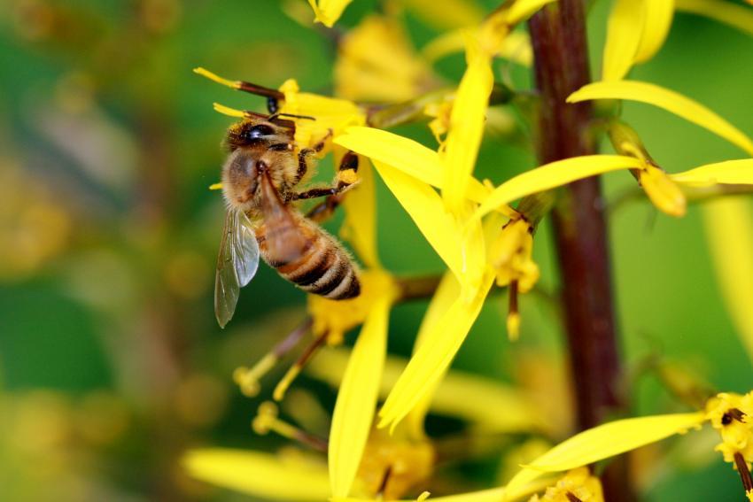 Ötvenhétféle rovarirtószert mutattak ki az európai háziméhek szervezetében