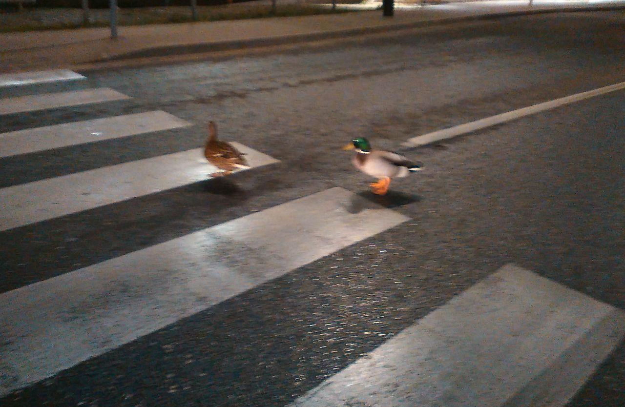 Zebrán közlekednek Győrben a kacsák