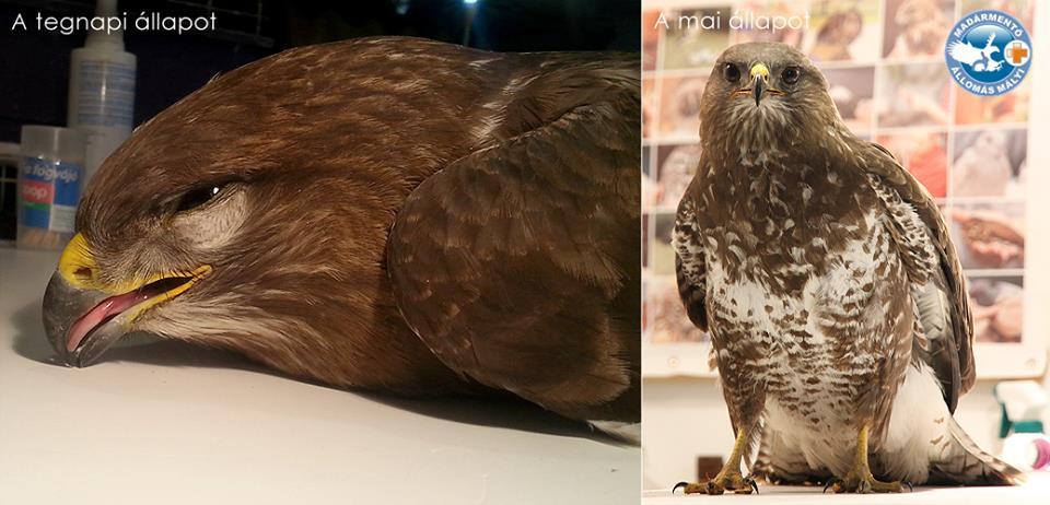 Mérgezett egerészölyvet hoztak vissza az életbe a mályi madármentők