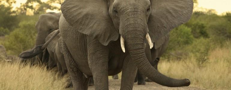 Több mázsa csempészett elefántcsontot foglaltak le Dél-Kínában