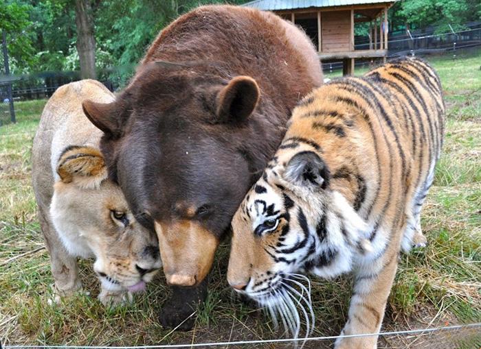 15 éve elválaszthatatlan barátok az oroszlán, a medve és a tigris