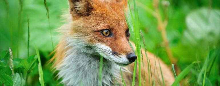 Holnap kezdődik a vadon élő rókák veszettség elleni vakcinázása