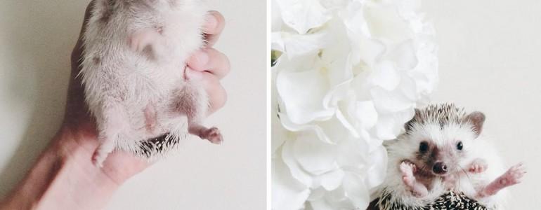 Imádnivaló fotókon egy sündisznó édes mindennapjai