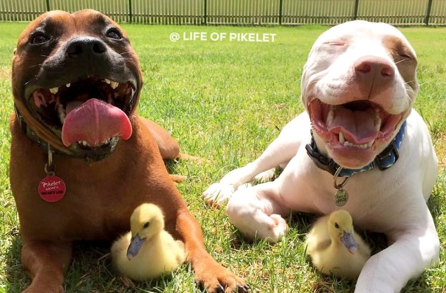 Kiskacsákat fogadott örökbe ez a két imádnivaló megmentett kutyus