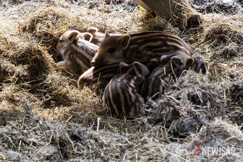 Előbújtak a kéthetes vadmalacok a Körösvölgyi Állatparkban
