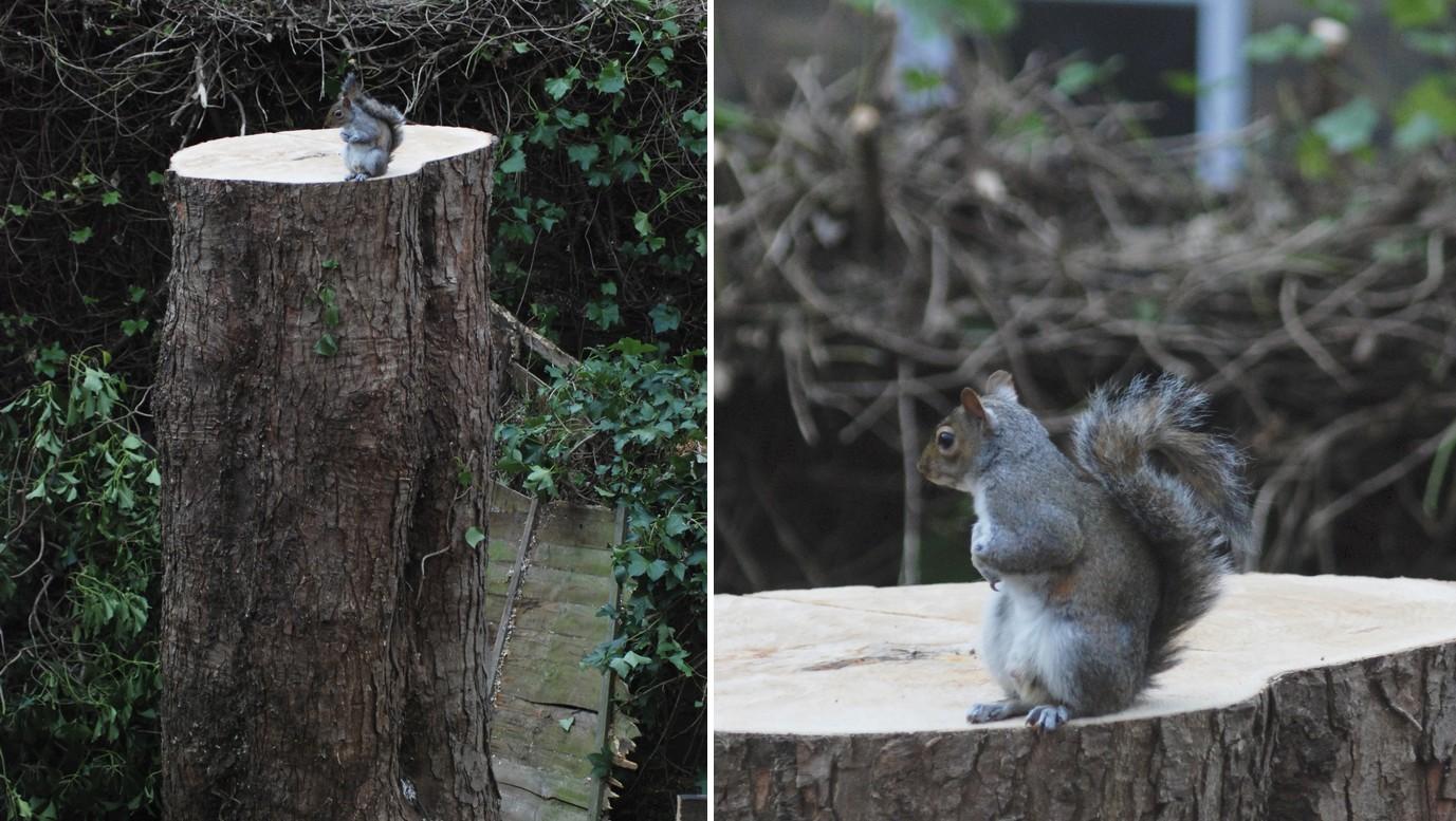 Visszatért a szomorú mókus ahhoz a kivágott fához, aminek ágai között korábban otthona volt