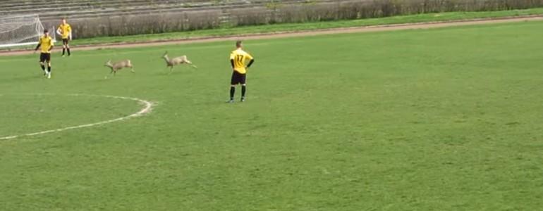 Két őz rohant a pályára Baranyában egy focimeccs közepén