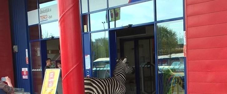 Zebra vásárolt volna vasárnap a nagykanizsai Tescóban