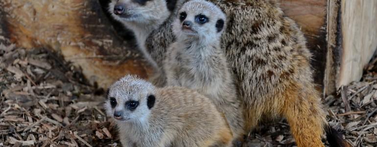 Szurikátakölykök születtek a Miskolci Állatkertben