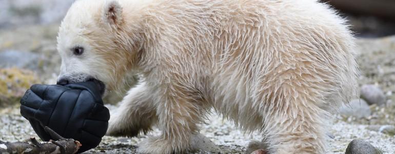 Már a nagyközönség is láthatja Németország legifjabb jegesmedvéjét