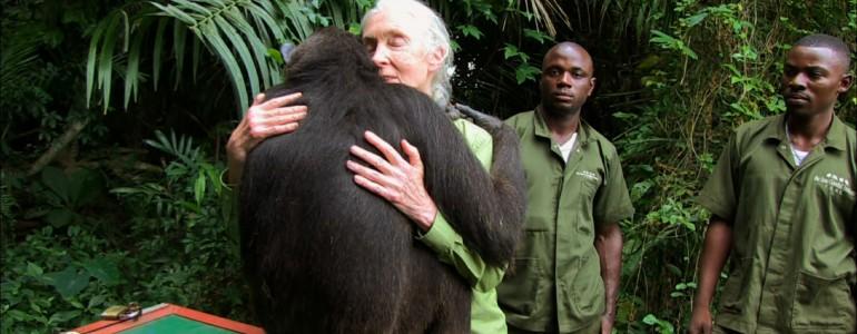 Öleléssel hálálta meg a csimpánz, hogy megmentették az életét