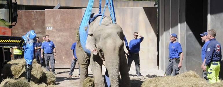 Daruval segítettek az öreg elefántnak