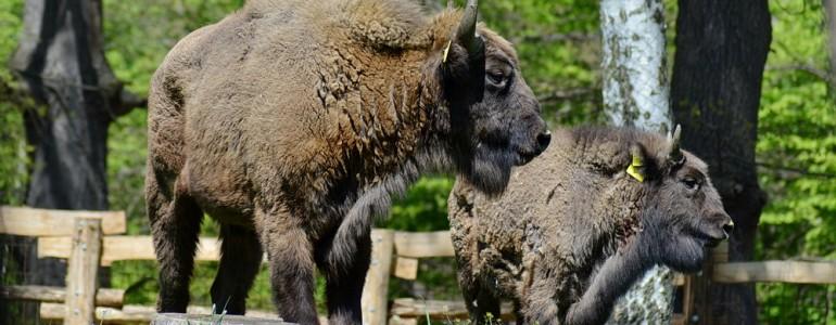 Európai bölények érkeztek a miskolci állatkertbe
