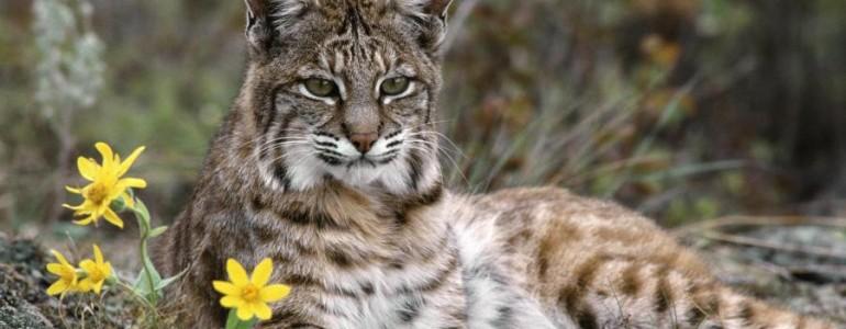 Megmenekült a kihalástól a világ legritkább macskaféléje
