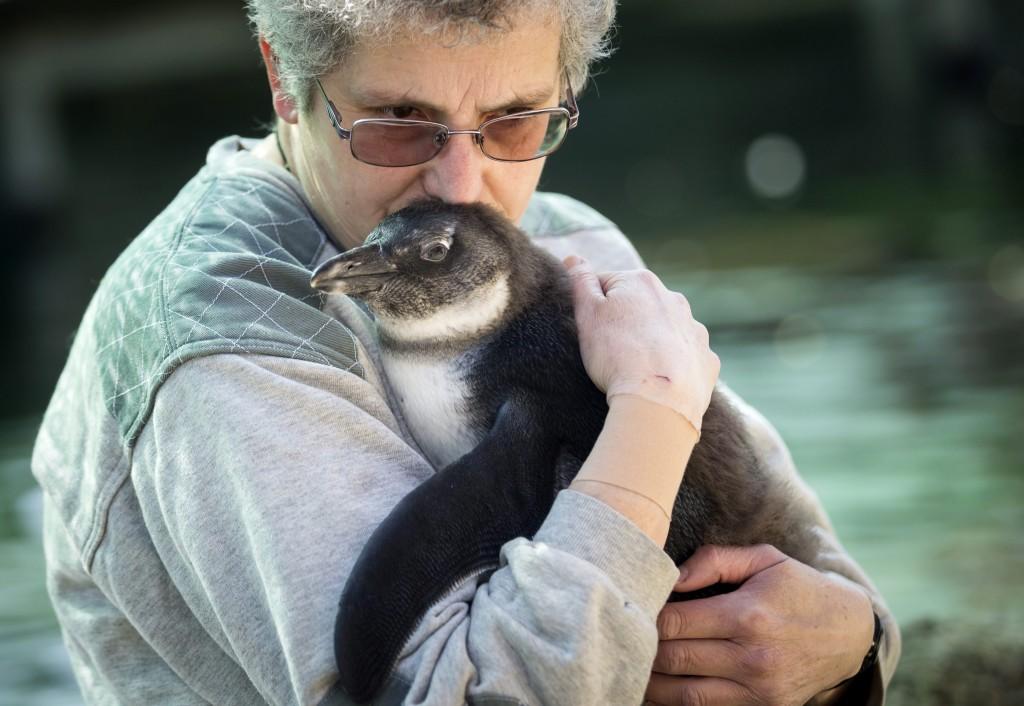 Budapest, 2016. április 3. Skippy, a pingvinfióka bemutatkozóján gondozója, Pintér Ágnes kezében a Fõvárosi Állat- és Növénykertben 2016. április 3-án. A fiókát január 6-i kikelése után egy darabig saját szülei nevelték, majd az utónevelési fázisban az állatgondozók gondoskodtak róla egy elkülönített pingvinnevelõ helyen. MTI Fotó: Mohai Balázs