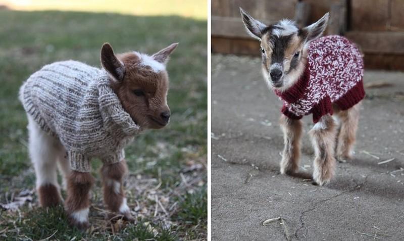 A pulóvert viselő bébikecskéktől kiakad majd a cukiságmérőd