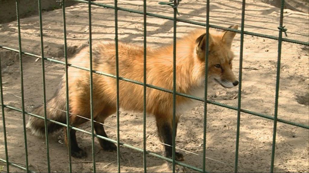 Megszökött, de már meg is lett Matyi, a Kecskeméti Vadaskert rókája