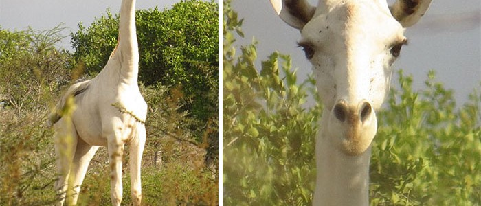 Hihetetlenül ritka fehér zsiráfot láttak Kenyában