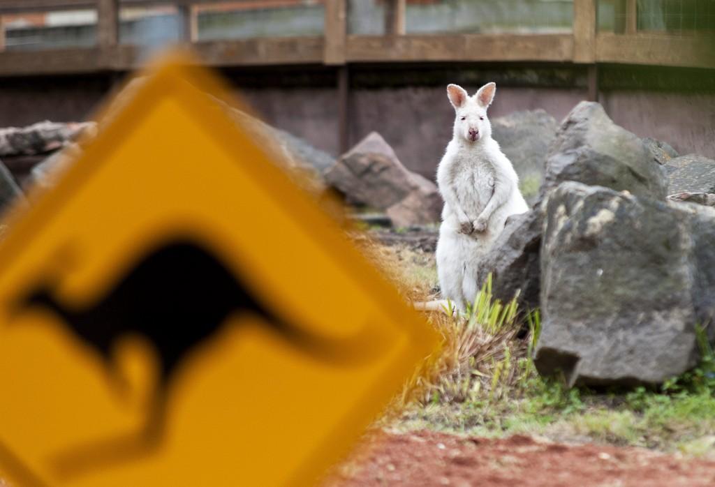 Gyõr, 2016. április 28. Bennett-kenguru (Macropus rufogriseus) a gyõri Xantus János Állatkert megújult kengurukifutójában az átadása napján 2016. április 28-án. MTI Fotó: Krizsán Csaba
