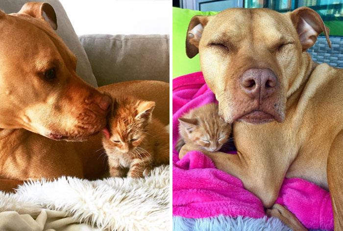 Sajátjaként neveli a kiscicát ez a megmentett pitbull