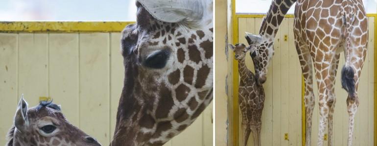 Először született zsiráf a debreceni állatkertben