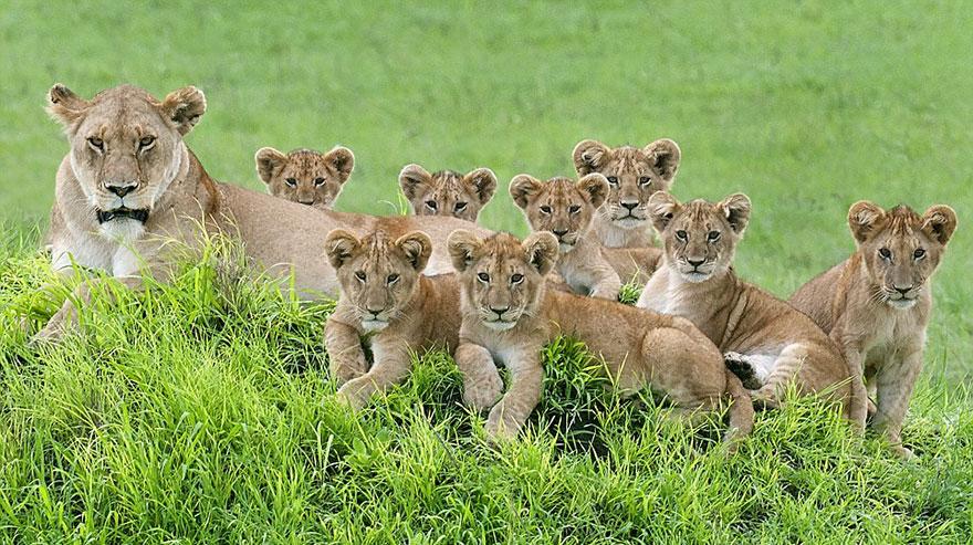 Tökéletes családi portré készült a legfenségesebb állatokról, az oroszlánokról
