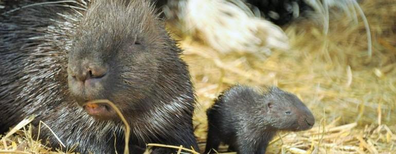 Tarajos sül bébi született a Nyíregyházi Állatparkban