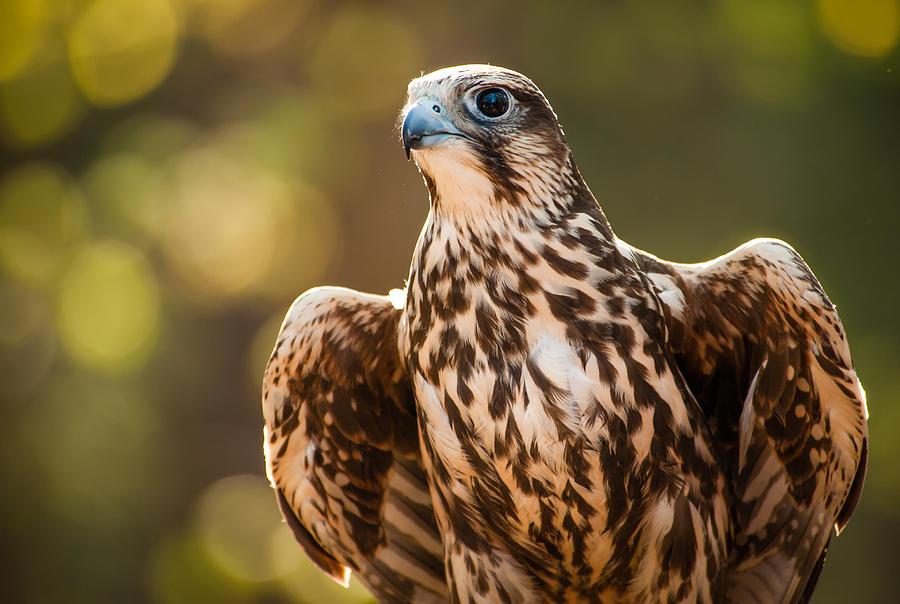 A kerecsensólyom védelme az Európai Bizottság legjobb természetvédelmi projektjei között