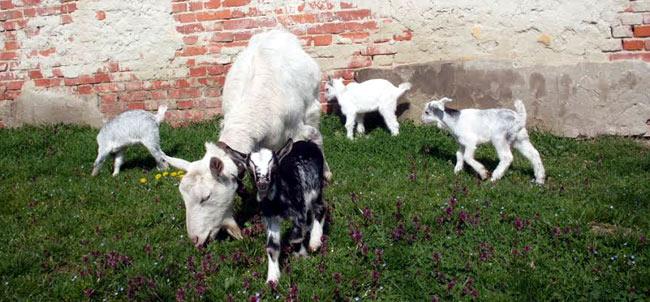 Négyes kecskeiker született Somogy megyében