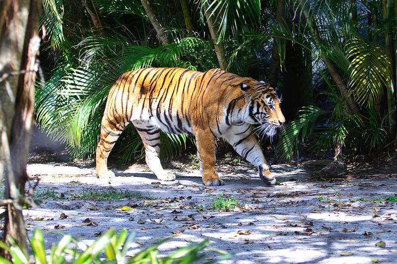 Tigris támadta meg a gondozót egy floridai állatkertben