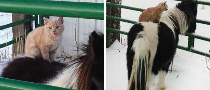 Ennek a cicának a mániája, hogy a farm állatainak hátán pihenjen meg