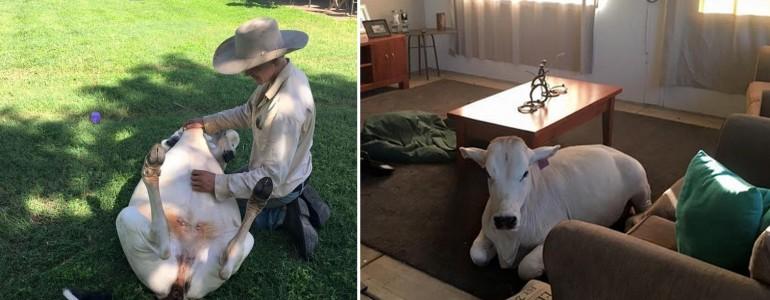 Kutyaként viselkedik a család kedvenc tehene