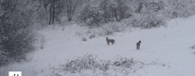 Hiúz és farkas randevúját rögzítette a kamera