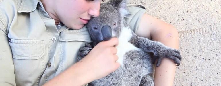 Így zajlik az élete annak, aki koalabébit nevel